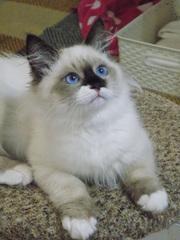 котенок с небесными глазками из Киевского питомника