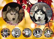 Щенки Хаски / Catei Husky / Husky puppies