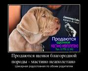 Продаются недорого щенки благородной породы - мастино неаполетано!