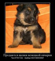 Продаются щенки немецкой овчарки!