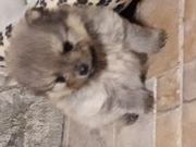 щенок породы Щпиц-недорого